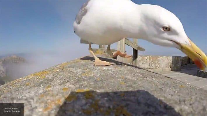 Без рубрики: Голодная чайка похитила чихуахуа из сада хозяйки в Великобритании