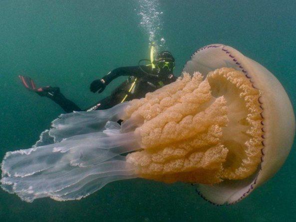 Общество: Медузу-корнерота невиданного размера обнаружили у берегов Англии