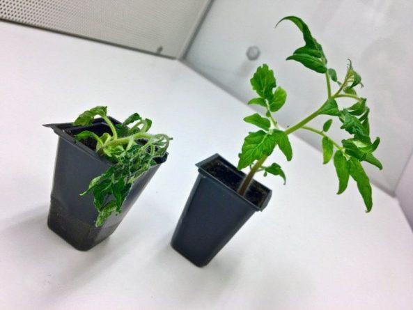 Общество: Почвенные бактерии помогают растениям сопротивляться болезням