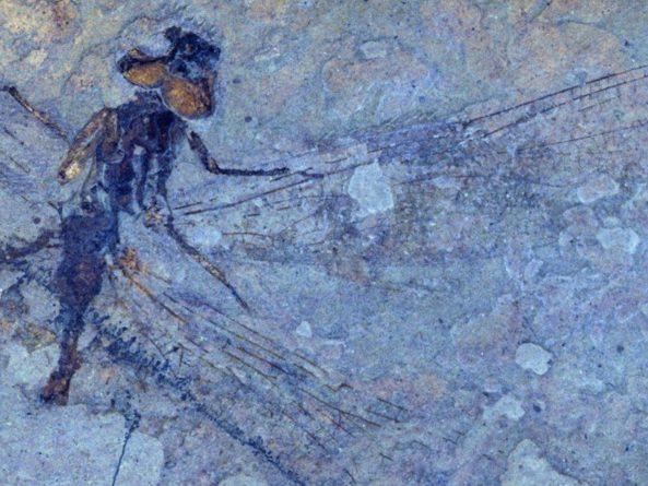 Общество: Палеонтологи открыли шесть видов стрекоз, живших около 50 миллионов лет назад