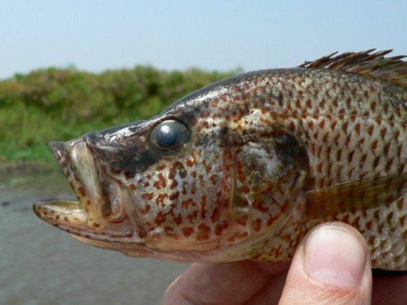 Общество: При недостаточном освещении самки африканских рыб могут спариваться с самцами других видов