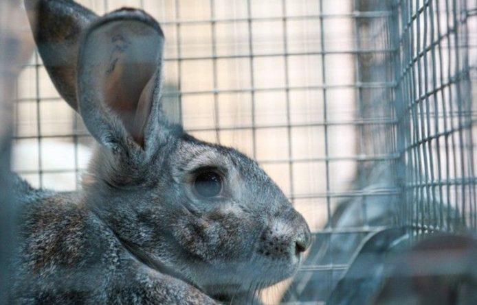 Общество: «Кролик-единорог» из приюта ищет хозяев в Великобритании