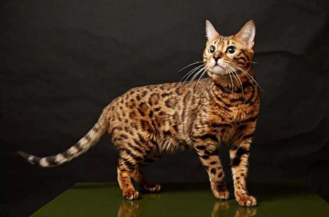 Общество: ТОП-3 самых редких окрасов кошек