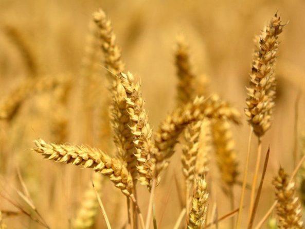 Общество: В Палате лордов хотят разрешить редактирование геномов сельскохозяйственных культур