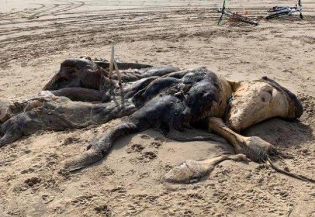 Общество: В Британии на пляже нашли 4-метровую тушу неизвестного существа (фото)