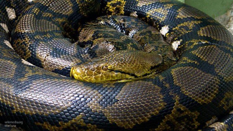 Общество: Мужчина из Британии использовал для защиты от COVID-19 змею