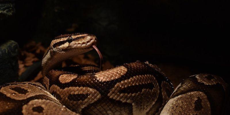Общество: Сломал систему: в Британии мужчина использовал змею вместо медицинской маски (Фото) - ТЕЛЕГРАФ
