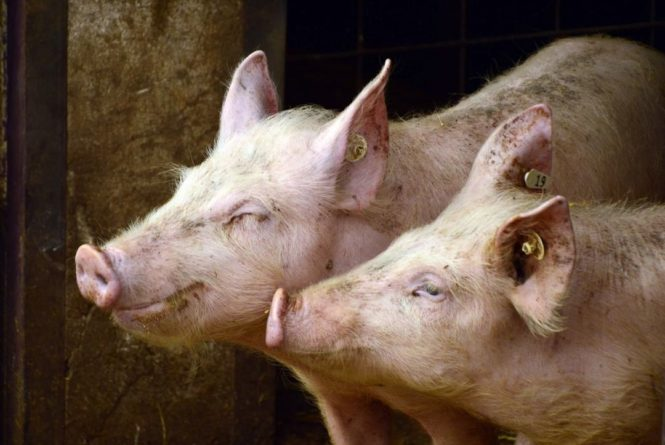 Общество: В Британии звезду телешоу покусала свинья - Cursorinfo: главные новости Израиля