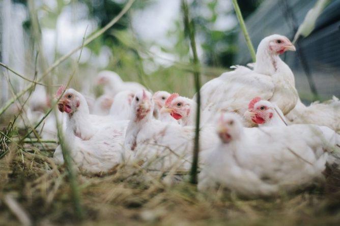 Общество: В Великобритании осудили мужчину за изнасилование куриц