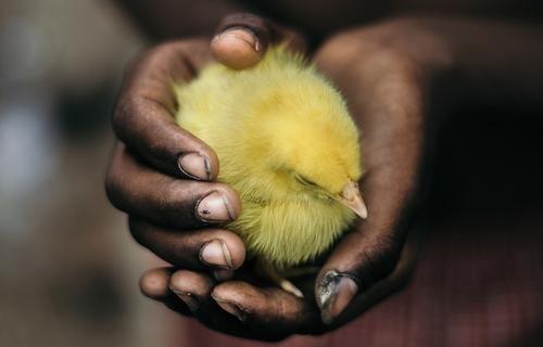 Общество: Британия отказывается от хлорированной курицы из США
