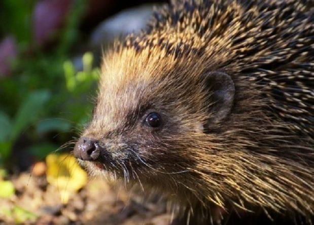 Общество: Они вымирают, надо их спасти: в Великобритании открылся первый в мире парк ежей
