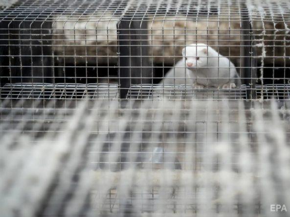Общество: Мутировавший коронавирус обнаружили на фермах норок в шести странах. Британия запретила въезд из Дании