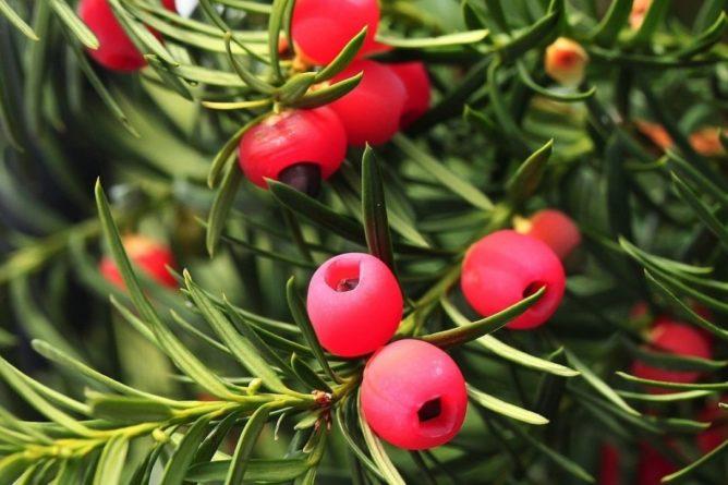 Общество: Одно из старейших деревьев Британии сменило пол