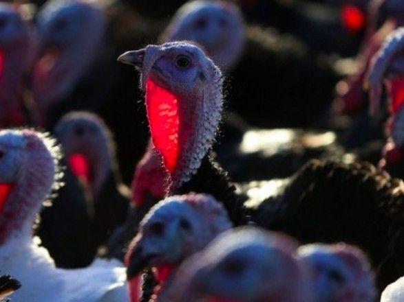 Общество: В Британии уничтожат более 10 тыс. индеек из-за птичьего гриппа