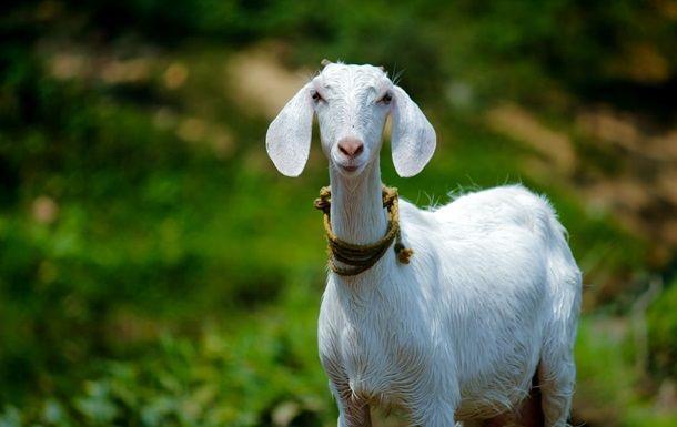 Общество: Британка заработала $68 000 на продаже видеозвонков с козами