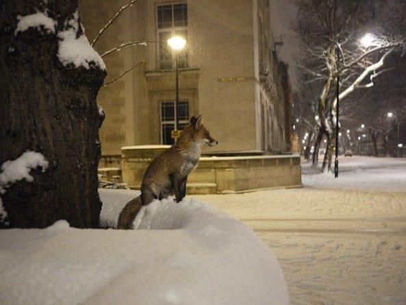 Общество: На улицах заснеженного Лондона заметили дикую лису: фото