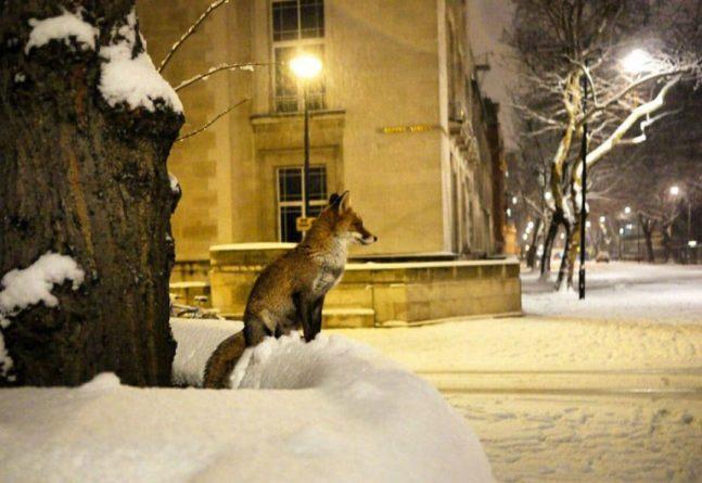 Общество: Душераздирающие крики слышны в Лондоне: почему лисы пугают местных жителей