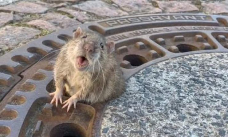 Общество: Из-за пандемии крысы оккупировали пригород Лондона
