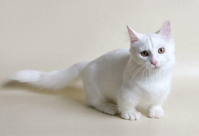 Общество: Манчкин: как появились кошки с короткими лапками и почему их не признает Великобритания