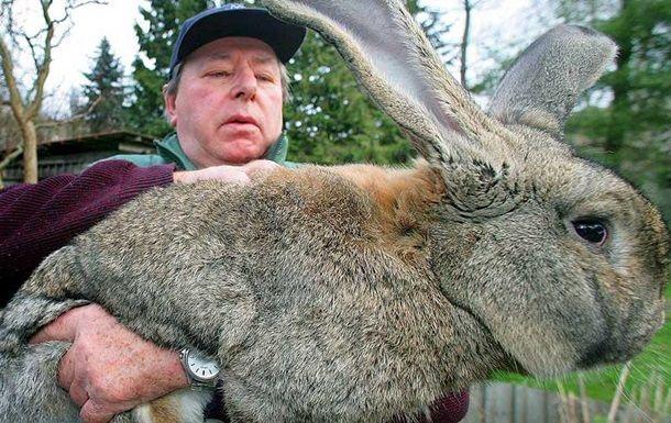 Общество: Кража в Великобритании: похищен самый большой кролик в мире
