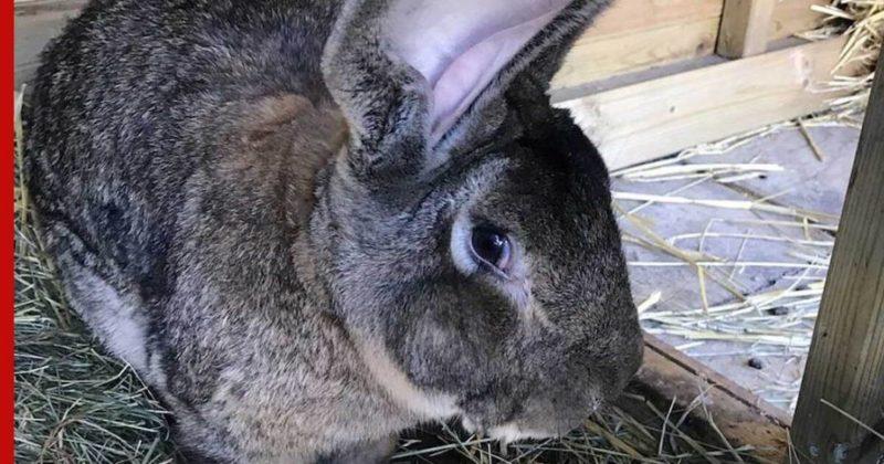 Общество: В Британии ищут воров, укравших самого большого кролика в мире