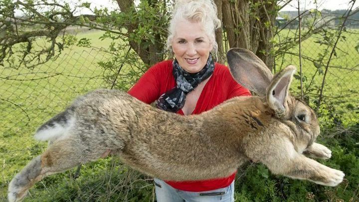 Общество: Вести. Дежурная часть. В Великобритании украли Дариуса – самого большого кролика Земли