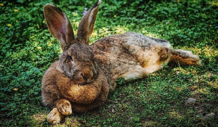 Общество: В Британии похищен кролик-гигант