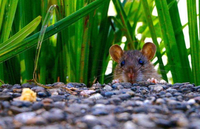 Общество: Большая стая крыс напала на женщину в Лондоне