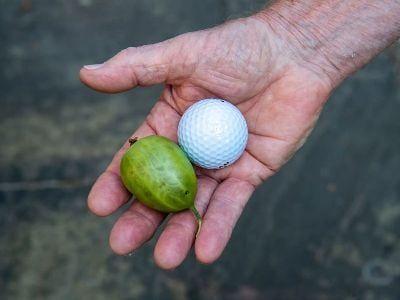 Общество: 85-летний британец победил на фестивале крыжовника, вырастив ягоду размером с персик
