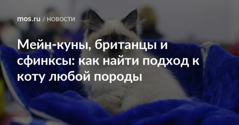 Общество: Мейн-куны, британцы и сфинксы: как найти подход к коту любой породы