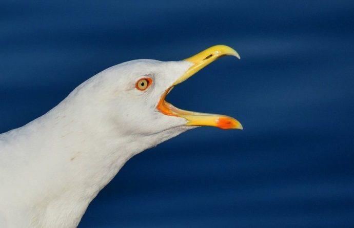 Общество: В Англии чайка ограбила супермаркет и попала на видео
