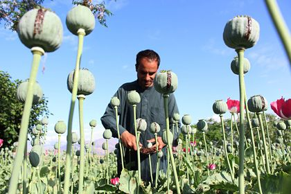 Общество: В Британии предложили разрешить афганцам легально выращивать опиум