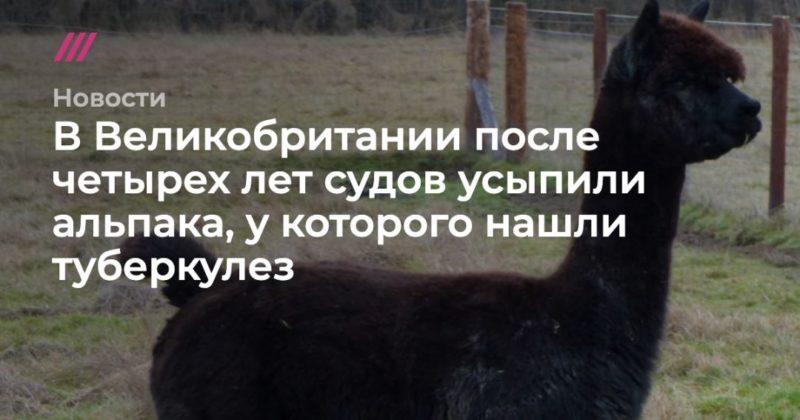 Общество: В Великобритании после четырех лет судов усыпили альпака, у которого нашли туберкулез
