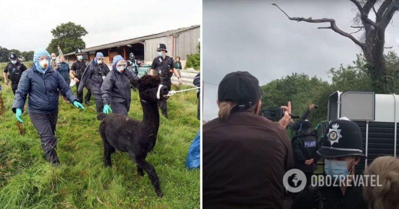 Общество: Альпак Джеронимо: в Британии усыпили знаменитое животное - фото и видео