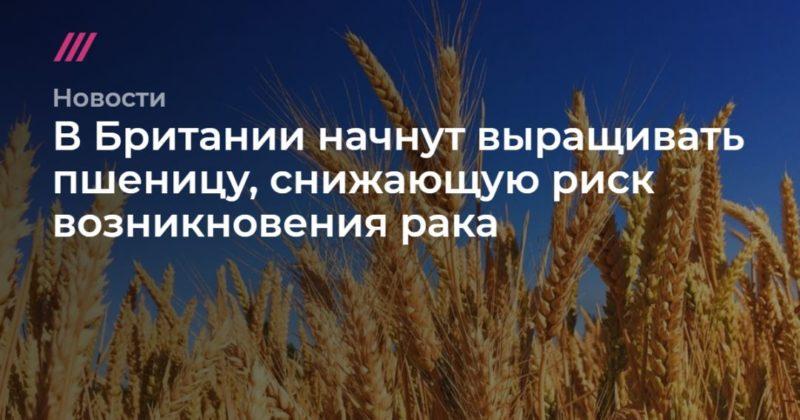Общество: В Британии начнут выращивать пшеницу, снижающую риск возникновения рака