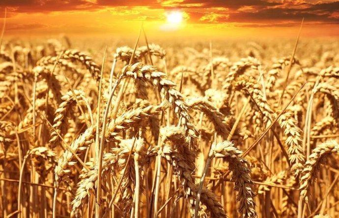 Общество: В Великобритании будут выращивать пшеницу, снижающую риск возникновения рака