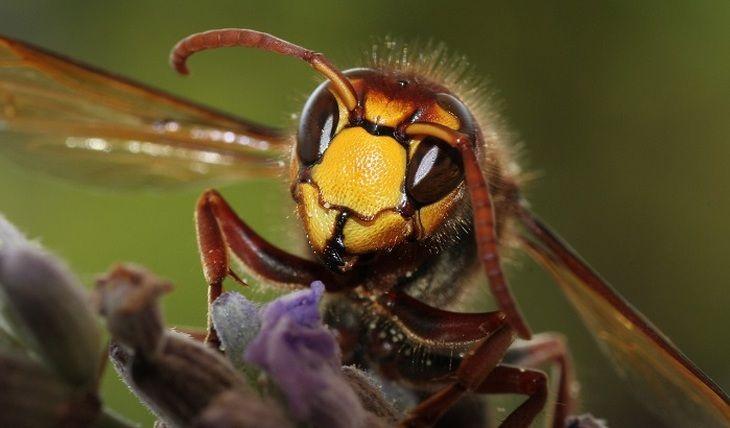 Общество: Жителей Британии предупредили о нашествии смертельно опасных шершней