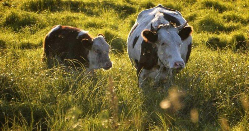 Общество: На ферме в Британии зафиксировали случай коровьего бешенства