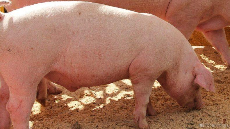 Общество: В Британии не хватает мясников для забоя свиней