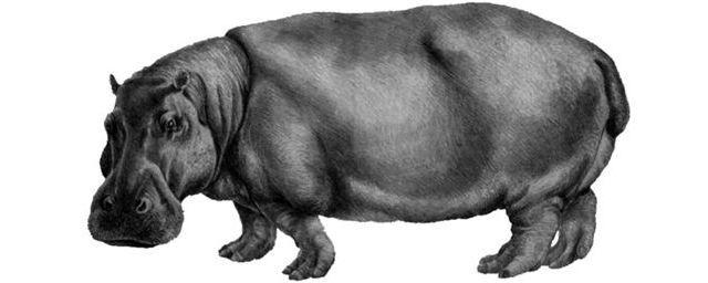 Общество: В Великобритании нашли зуб гигантского бегемота возрастом 1 млн лет