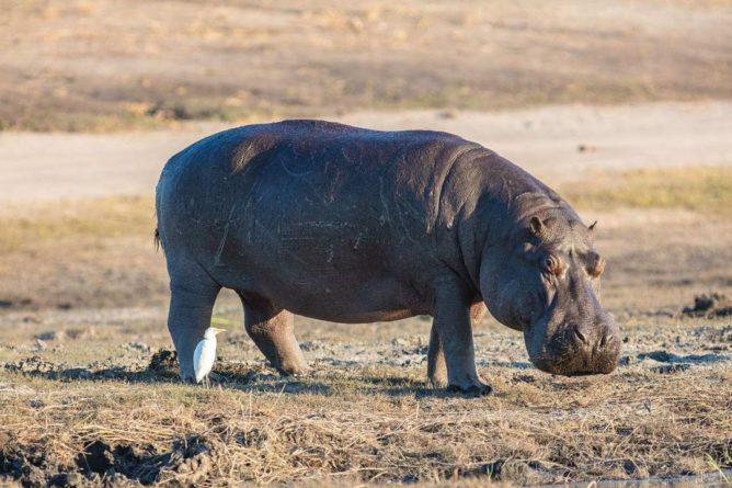 Общество: В Великобритании нашли зуб бегемота, жившего более 1 миллиона лет назад