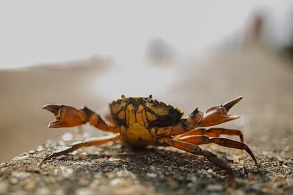 Общество: Крабы-мутанты поставили под угрозу рыболовство Британии